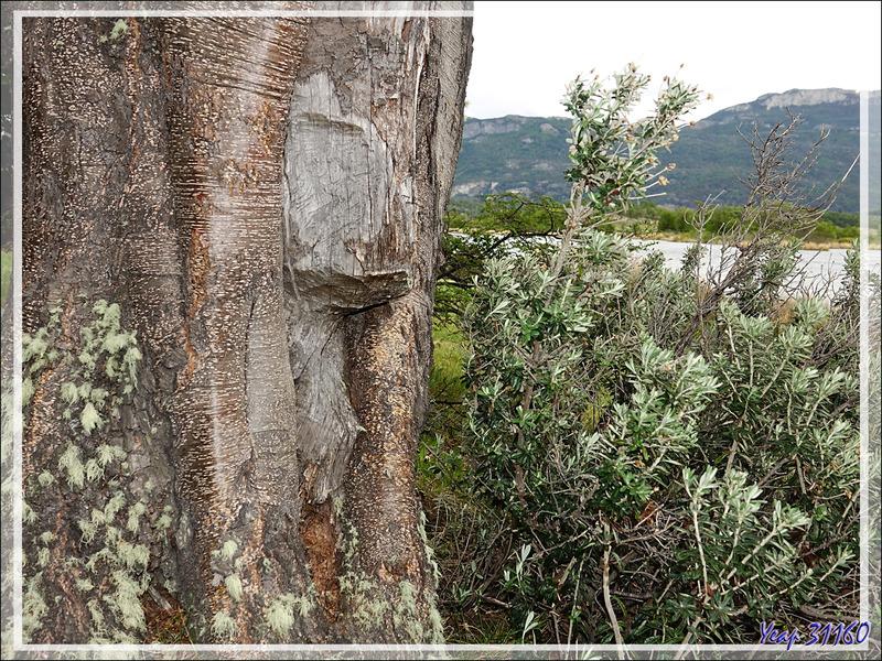 Travail de castors - Lac Acigami - Lapataia - Terre de Feu - Argentine