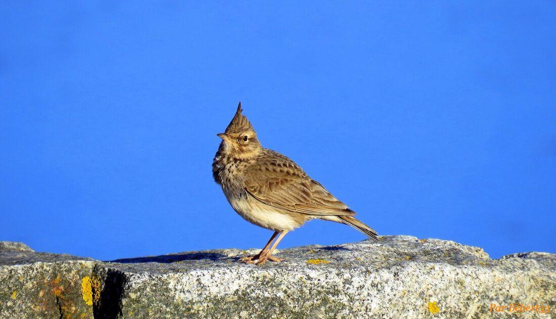 un oiseau huppé