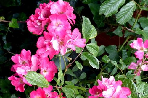 Des petites roses ...