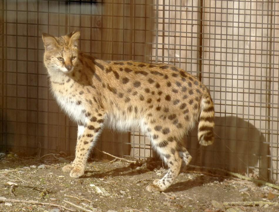 Au zoo d'Amiens en compagnie du Serval