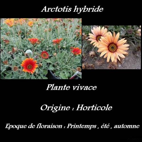 Arctotis hybride