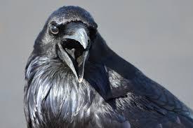 Le corbeau dans tous ses états ...