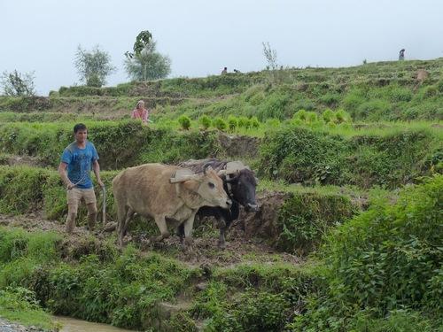 la vie dans les rizières - suite