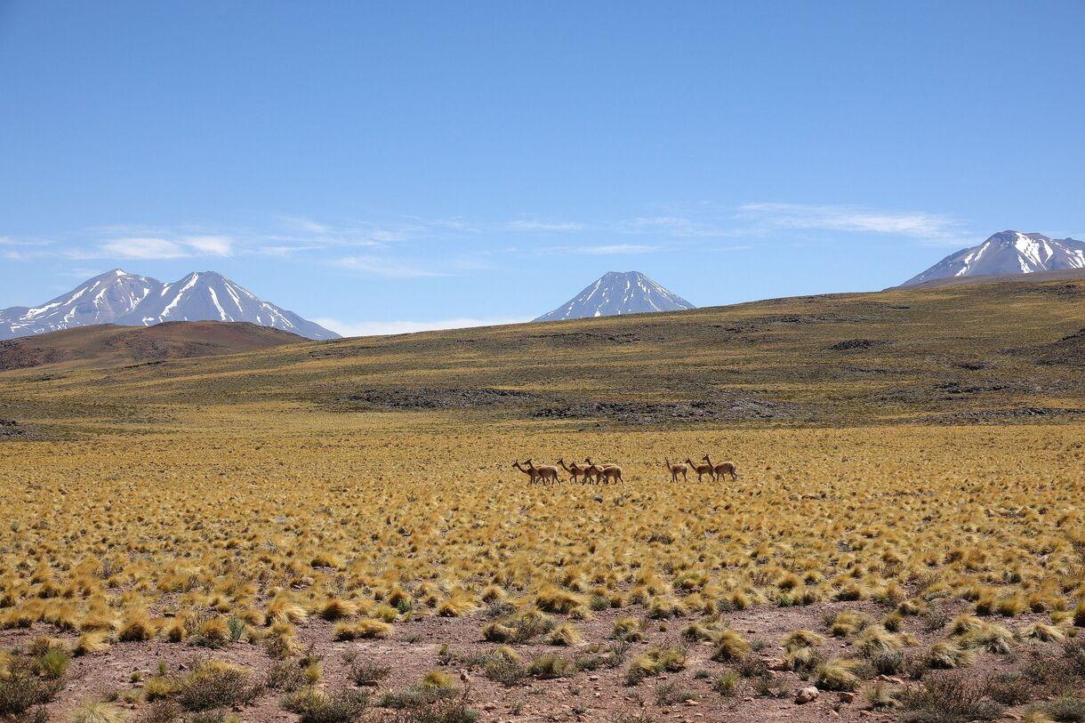 Atacama ~ Les Vigognes #2