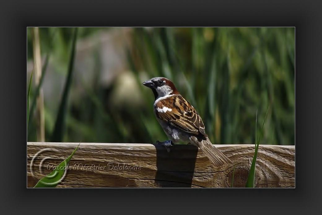 Moineaux domestiques (encore des petits bagués du Parc ornithologique du Pont de Gau)...