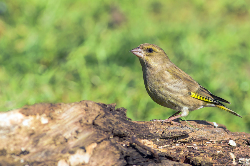 Le Verdier d'Europe (Chloris chloris, anciennement Carduelis chloris)