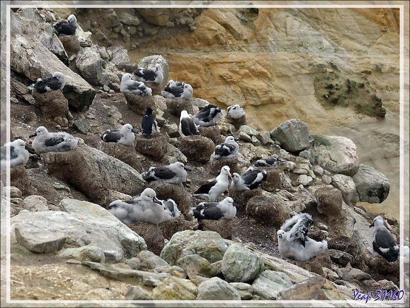La falaise aux nids d'Albatros à sourcils noirs, Black-browed Albatross (Thalassarche melanophris) - Coffin's Harbour - New Island - Falkland (Malvinas, Malouines) - Grande-Bretagne