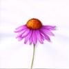 echinacea_lexique_plantes.jpg