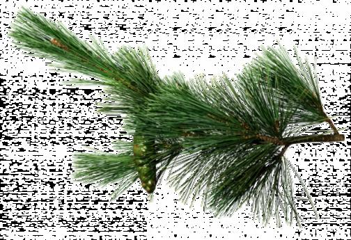 Branches de sapin 1