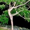 Etrange arbre- La danseuse
