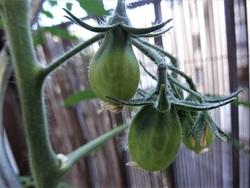 20 juin : les fruits sont verts !