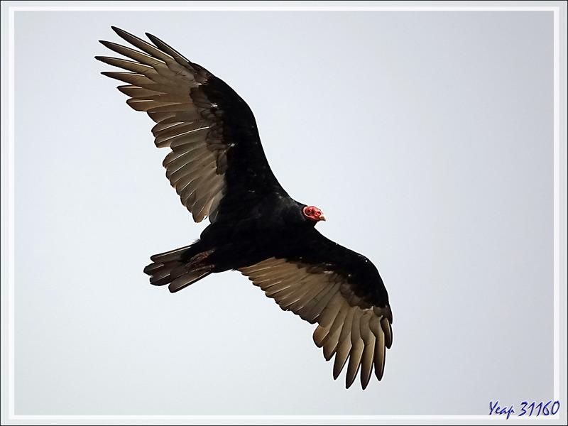 """Le vieux """"croque-mort"""" et son jeune apprenti : Vautours Urubus à tête rouge, Turkey Vulture (Cathartes aura) - The Neck - Saunders Island - Falkland (Malvinas, Malouines) - Grande-Bretagne"""