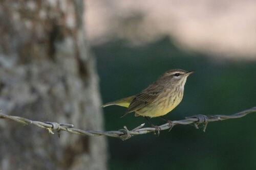 Parunline à Couronne Rousse (Palm Warbler)