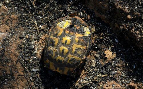 Incendie dans le Var : opération sauvetage pour les tortues d'Hermann de la Réserve naturelle