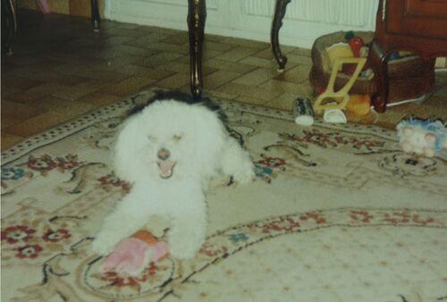 La ronde des toutous : mon Caniche-Toy