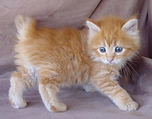 american-bobtail-cat-facts