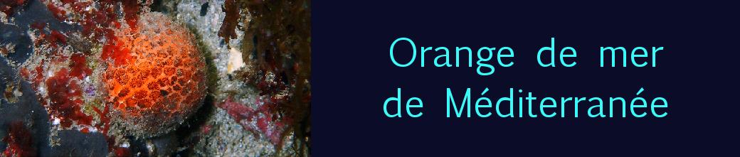 Orange de mer
