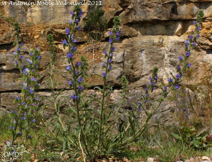 Echium vulgare - vipérine commune