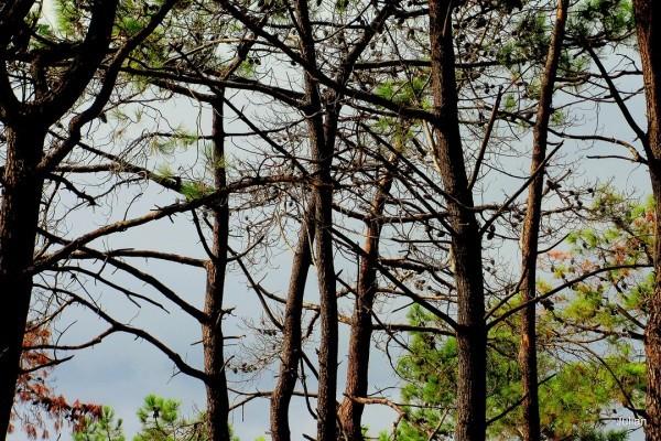 w04 - Troncs des pins
