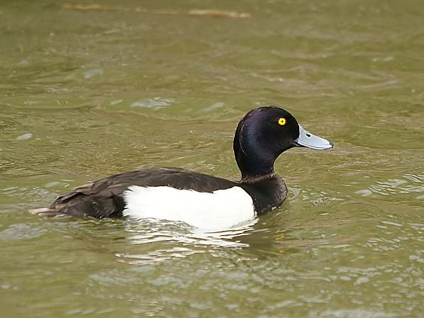 799px-Aythya fuligula (male)
