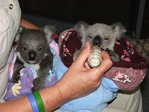 Koalas 04 - !cid 1231D8F367DF49B9A3CA69FCE9A9532D@PCdejoel
