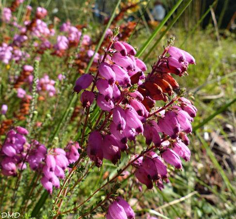 Erica ciliaris  -  bruyère ciliée