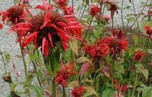 mes plantes de Borest