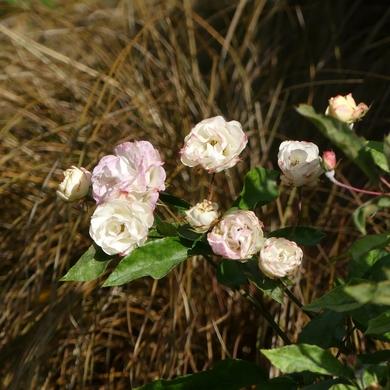 Il était un rosier : La Rosée...