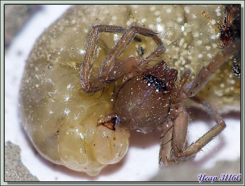 La saga de la Pélopée courbée (Sceliphron curvatum), guêpe chasseuse d'araignées (partie 5) - Verdun-sur-Ariège - 09