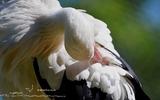 Cigogne blanche - p172