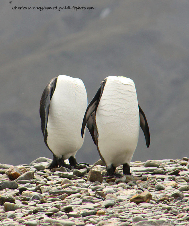 penguins exercise comedy wildlife photography