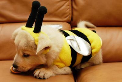 bébé Golden Retriever déguisé en abeille