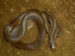 Les serpents sur Bali