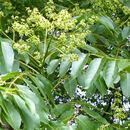 Index illustré végétal ligneux