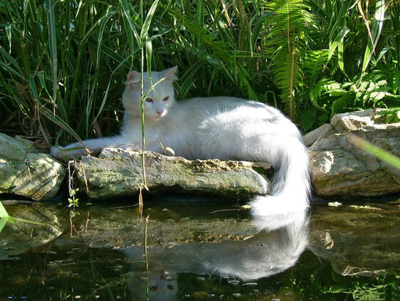 http://images.forwallpaper.com/files/thumbs/preview/59/590296__white-cat-at-water_p.jpg