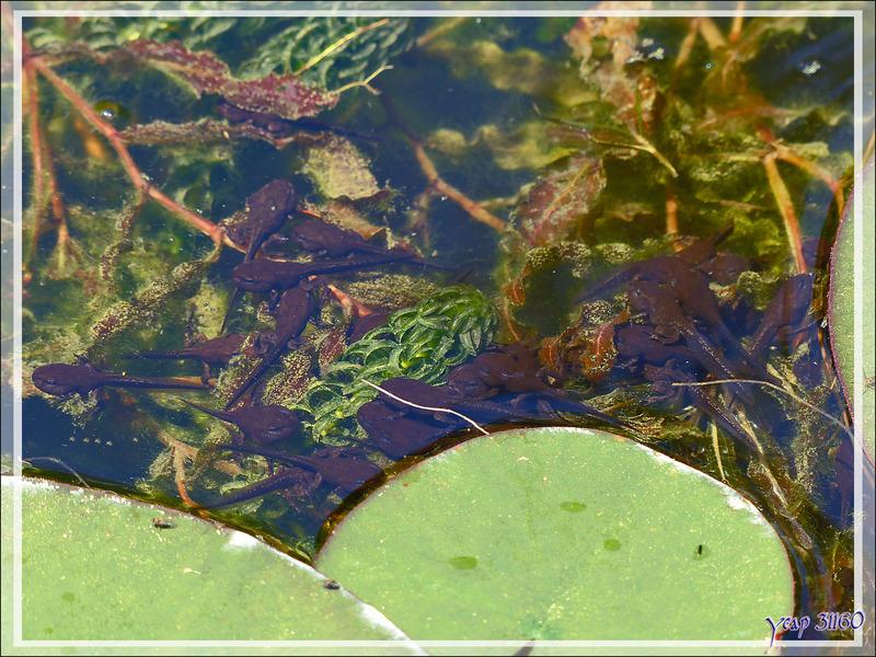 Différence entre têtard de Crapaud commun et têtard d'Alyte (crapaud accoucheur) - Lartigau - Milhas - 31