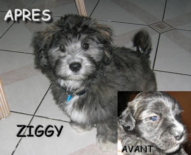 Ziggy ... AVANT-APRES