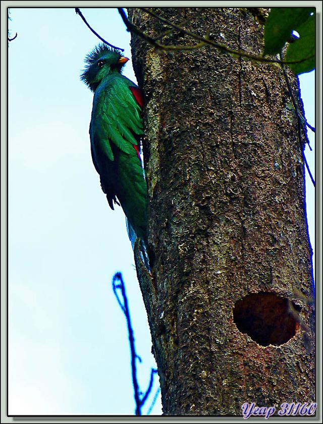 Blog de images-du-pays-des-ours : Images du Pays des Ours (et d'ailleurs ...), Quetzal resplendissant (Pharomachrus mocinno) - San Gerardo de Dota - Costa Rica