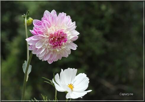 Dahlias au jardin