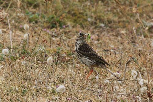 Pipit Farlouse (Meadow Pipit)