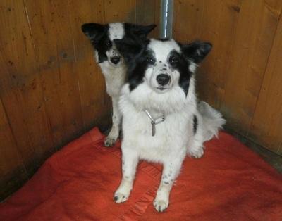 Sauvetage de 2 petites chiennes dans les Alpes