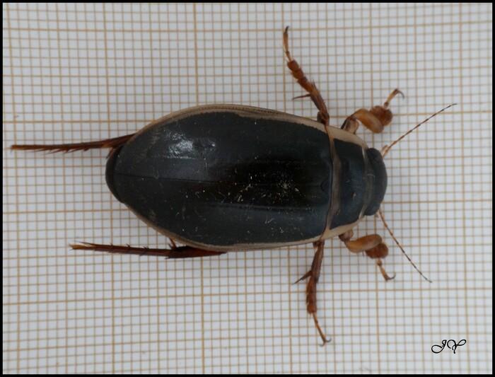 Dytiscus marginalis.