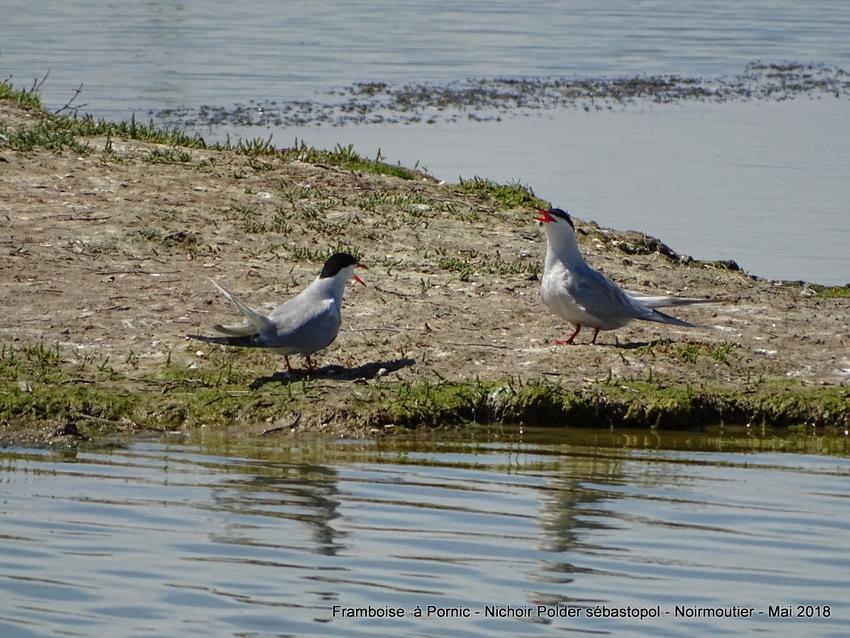 Oiseaux du polder Sébastopol à Noirmoutier