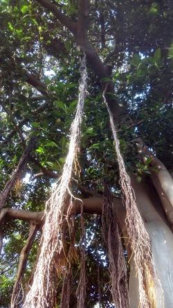 Une autre curiosité du jardin botanique de Puerto de la Cruz