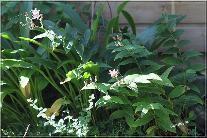 """La  Salvia hybride """"Amistad""""® .et  Tricyrtis formosa """"Pink Freckles""""®, plantes """"à tester""""."""
