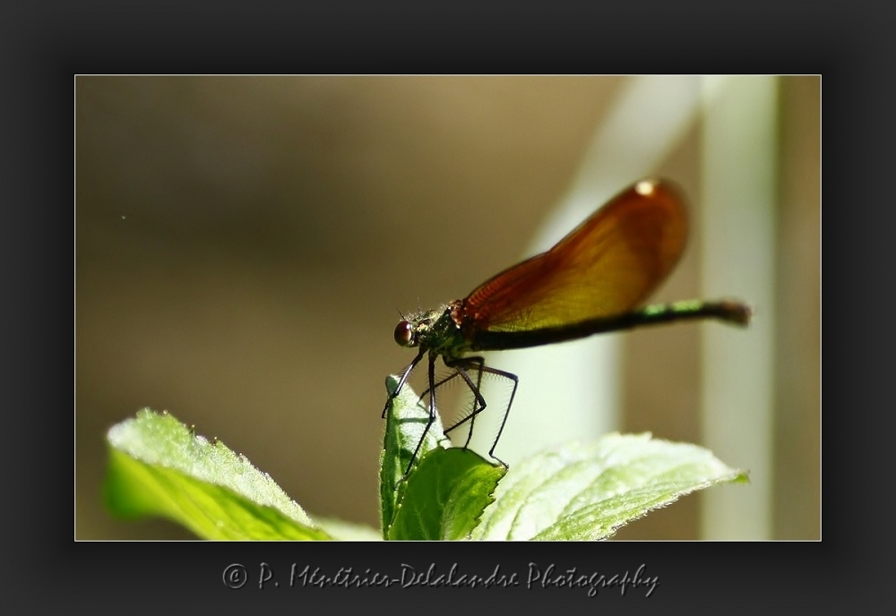 Calopteryx...