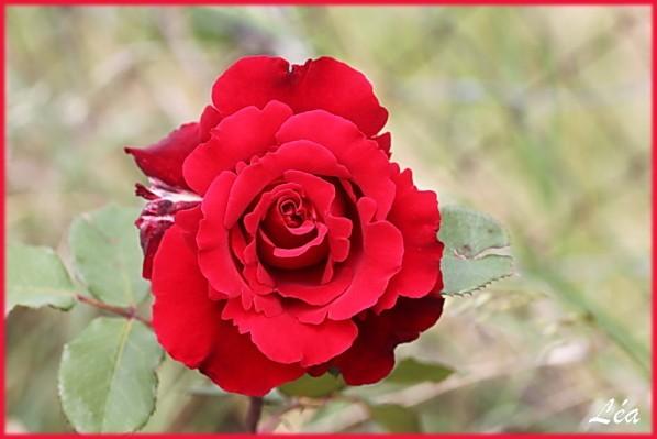 Fleurs-2-2891-Rose-Pagnol.jpg