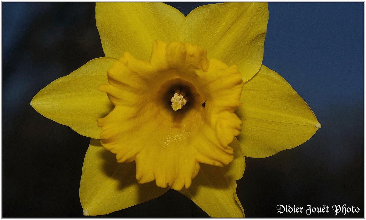 Narcisse (1) - Narcissus