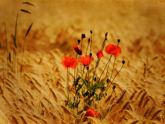http://www.photos-gratuites.org/wp-content/uploads/galleries/post-1182/full/photo%20coquelicot-4.jpg