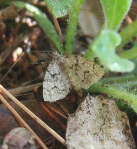 Papillon de nuit n°3 -Epirrita Dilutata